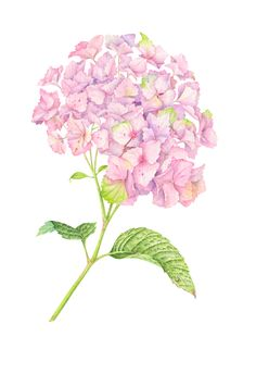 Pink Hydrangea botanical illustration with watercolor