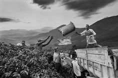 Sebastião Salgado chronicles and celebrates coffee growers Coffee harvesting. Dutra farm, municipality of São João do Manhuaçú, Mata region, state of Minas Gerais, Brazil 2002. ©SEBASTIAO SALGADO/AMAZONAS IMAGES FOR ILLY