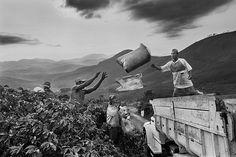 Sebastião Salgado chronicles and celebrates coffee growers Coffee harvesting. Dutra farm, municipality of São João do Manhuaçú, Mata region, state of Minas Gerais, Brazil 2002. ©SEBASTIAO SALGADO/AMAZONAS IMAGES FOR ILLY