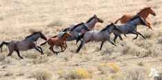 The American Wild Horses Preservation Campaign seeks to protect America's wild horses and burros by stopping the federal government's systematic elimination of these national icons from our public lands. Beautiful Horses, Animals Beautiful, Cute Animals, Pretty Horses, Horse Photos, Horse Pictures, Kiger Mustang, Horse Galloping, Horse Silhouette