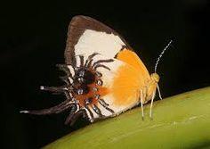 """Результат пошуку зображень за запитом """"Riodinidae"""""""
