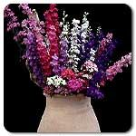 Organic Galilee Mix Larkspur