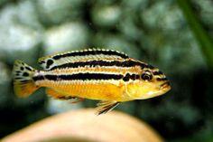 TROPICAL FISH YELLOW AURATUS CICHLID #Cichlids, #yellow