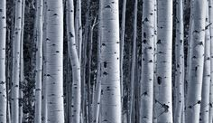 Silver Birch Tree Forest Wallpaper Murals,