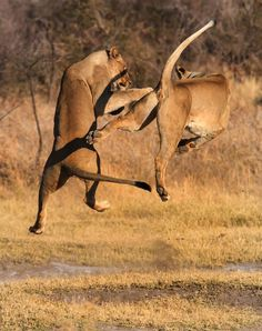 This is the incredible moment two lions gave a safari tour group something to remember, by a performing a spectacular marital arts display. These big cats at Madikwe game reserve surprised onlookers with their aerial acrobatics. One can be seen executing a Kung-Fu style kick while the other slashes at the air - but luckily two were merely play fighting.