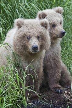 Brown bear cubs - so cute! Beautiful Creatures, Animals Beautiful, Baby Animals, Cute Animals, Wild Animals, Bear Cubs, Grizzly Bears, Tiger Cubs, Tiger Tiger