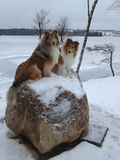 I'll take two Shelties on the rocks please