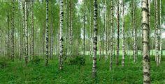 Koivikko - koivikko koivu puu runko valkoinen lehtipuu lehtimetsä metsä vihreä  kevät kesä