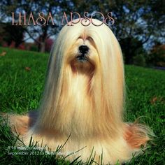 Lhasa Apsos Wall Calendar: The Lhasa Apso originated in Tibet and is one of the most popular breeds in the world today. This 2013 wall calendar features a dozen of these little bearded dogs. The perfect gift for any Lhasa Apso lover!  http://www.calendars.com/Lhasa-Apsos/Lhasa-Apsos-2013-Wall-Calendar/prod201300001876/?categoryId=cat10061=cat10061#