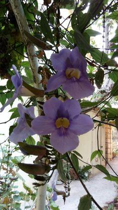 Thunbergia grandiflora. Тунбергия крупноцветковая.