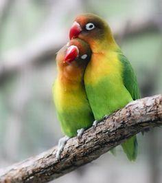 Verseau : les inséparables. Excentrique sans être un amoureux des bêtes, ce joli couple d'oiseaux vous apportera gaieté et sérénité