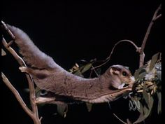 Meet a flying possum! - Science (F,1).  Don Spencer shows us a small mammal called a sugar glider. Take a close look at its big eyes and furry tail. See it glide through the air from tree to tree. Watch the sugar glider eat. Learn how it got its name.