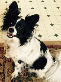 79 best papillion images on pinterest butterflies papillon dog find this pin and more on papillion by sandy beckwith solutioingenieria Images