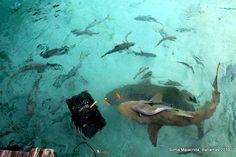 tubarões em Exuma - Bahamas