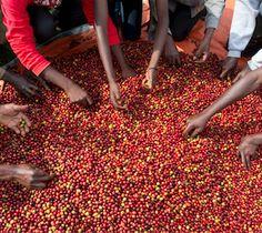 Coffee sorting in Ruli Mountain, Rwanda. ©Copyright Gary S. Chapman 2011