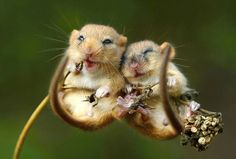 Two dormice snuggling