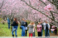 Festa da Cerejeira em Flor 2013 começa no mês de julho em Campos do Jordão http://gtur.in/1tG24B