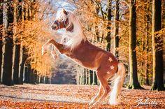 Zorro, paarden fotografie, horse, fotografie, photography, fotoshoot, www.juliettefotografie.nl Lippizaner, Akhal Teke, Horses, Portrait, Animals, Beautiful, Inspired, Photography, City Photography