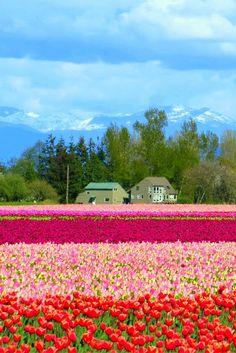 Tulip Festival Washington, Beautiful World, Beautiful Places, Tulip Fields, Costa Rica Travel, Washington State, Beautiful Landscapes, Great Places, Nature