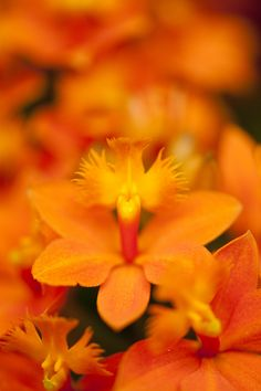 """""""reed orchid"""" by NYBG on Flickr - Orange Reed Orchid, Epidendrum Secret Valley 'Orange Sugar':  photo by Ivo M. Vermeulen"""