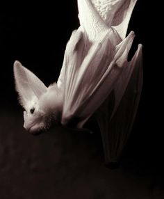 "So beautiful.  The ghost bat ~ Macroderma gigas. Although there are two species known as Ghost bats, this particular species - native to Australia - is also known as the false vampire bat. The name ""Ghost bat"" comes from the extremely thin membrane of its wings that makes it appear ghostly at night. Ghost bats have grey fur on their backs and pale grey or white fur on their undersides. They have long, narrow wings, but no tail, averaging 11 centimetres (4.3 in) in length.  Photo by: S J…"