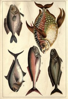 Our country's fishes and how to know them  London :Simpkin, Hamilton, Kent & Co.,[1902]  Biodiversitylibrary. Biodivlibrary. BHL. Biodiversity Heritage Library.  http://blog.biodiversitylibrary.org/2012/02/book-of-week-x-ray-vision.html