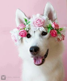 Husky Flower Girl