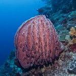 Barrel Sponge at Tubbataha Natural Park, Diving, Barrel, Nature, Naturaleza, Scuba Diving, Barrel Roll, Barrels, Natural
