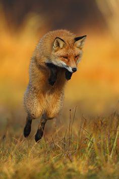 """heaven-ly-mind: """"Flying fox by Marcin Nawrocki on 500px"""""""