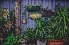 Various green plants in flowerpots by a violet wall