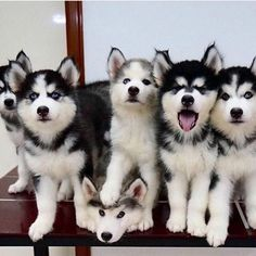 That's a bunch of fur and cuteness but a bunch of stubborn pups