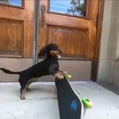 Rowdy likes to skate - Lustige tiere - Chien Cute Funny Dogs, Cute Funny Animals, Cute Baby Animals, Animals And Pets, Funny Dachshund, Dachshund Puppies, Cute Puppies, Dapple Dachshund, Wiener Dogs
