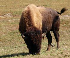 An American plains bison in Theodore Roosevelt National Park in western North Dakota