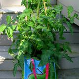 Common Mistakes Growing Tomatoes in Containers - this is a good article with lots of information.  Check it out.