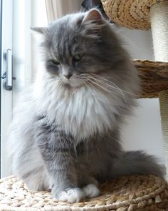 Cute Ragamuffin Cat Most Beautiful Fur