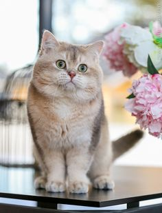 British shorthair cattery estonia
