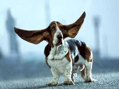 Basset hound = our next dog :)