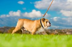 Things you need to know about walking your dog: http://www.primepetinsurance.com.au/blog/dog-walking-101/
