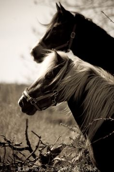 Bokeh effect black and white horses neck to neck. I love the softly blowing manes.