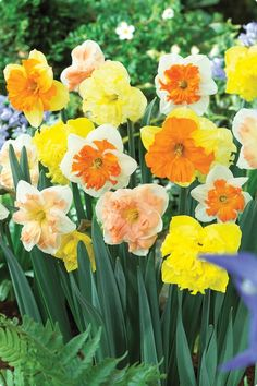 Butterfly Daffodils Mixed - ordered for fall planting