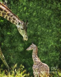 Title:  Giraffe Family Mother And Baby Digitally Hand Painted  Artist:  Marianne Campolongo