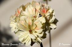 P. 'Unicorn Zonartic Diva', зонартик - Pelargonium species
