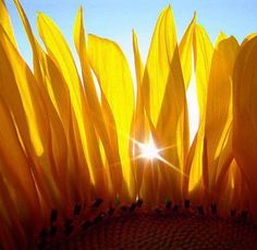 SUNFLOWER........PARTAGE OF UNIVERSELLIA.......ON FACEBOOK.........