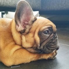 Those ears! Must be a French Bulldog Puppy