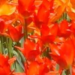 Bright orange and red tulips [Pic 5 of 9] ♥ Pinterest.com/Hacks