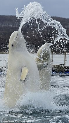 Splash: A playful group of beluga whales leap from the water to spray water up into the air even targeting their trainers Beautiful Creatures, Animals Beautiful, Water Animals, Dog Items, Ocean Creatures, Mundo Animal, Sea World, Ocean Life, Happy Dogs