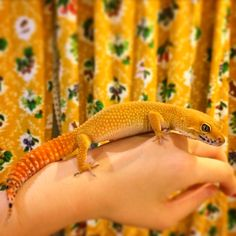 Leopardgecko carrottail Assimilation