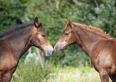 Two nice foals communicate Horse Couple, Horse Pictures, World's Biggest, Horses, Templates, Nice, Animals, Image, Pictures Of Horses