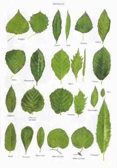 Savoir reconnaître les arbres - La Voie de Gaïa