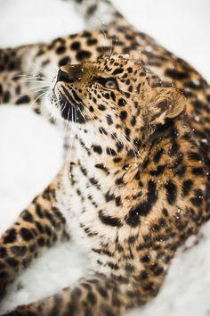 léopard / panthère amour